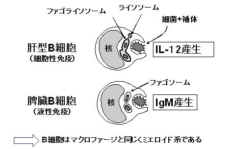 肝貪食型B細胞の同定