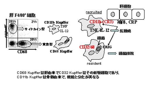 図2.2種類のクッパー(Kupffer)細胞