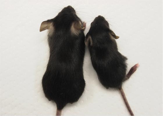 遺伝子改変マウス